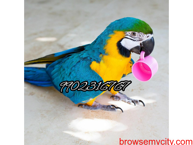 Outstanding tamed blue and gold macaw parrot for sale in Bangalore - 5/5
