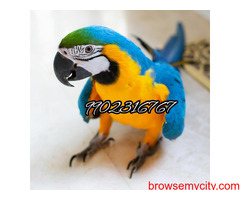 Very gorgeous fully tamed blue and gold macaw parrot for sale in Bangalore
