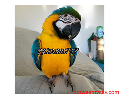 Beautiful fully tamed blue and gold macaw parrot for sale in Bangalore