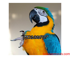blue and gold macaw fully tamed parrots available in bangalore