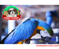 very gorgeous blue and gold macaw parrots available in  bangalore