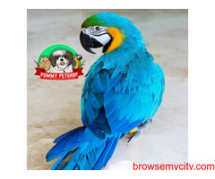 very beautiful blue and gold macaw parrots available in bangalore