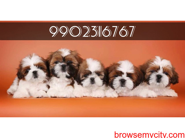 superb quality shih tzu puppies for sale in bangalore - 1/1