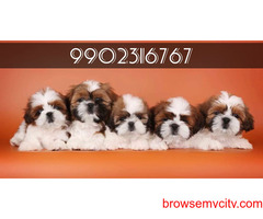 superb quality shih tzu puppies for sale in bangalore