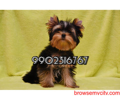 very extraordinary yorkshire terrier puppies for sale in bangalore