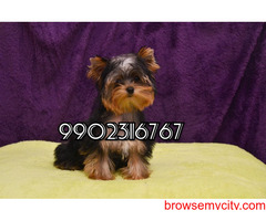 very genuine quality yorkshire terrier puppies for sale in bangalore