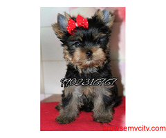 long coated yorkshire terrier puppies for sale in bangalore