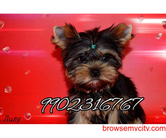 very long coated genuine yorkshire terrier puppies for sale in bangalore