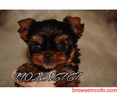 top most long coated quality yorkshire terrier puppies for sale in bangalore