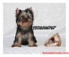 very outstanding quality breed yorkshire terrier puppies for sale in bangalore