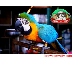 blue and gold macaw parrot for sale in bangalore