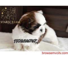 very outstanding quality pure tri colour shihtzu puppies for sale in bangalore