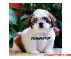 top quality breed shihtzu puppies for sale in bangalore