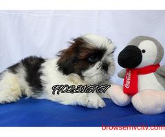 top quality pure tri colour shihtzu puppies for sale in bangalore