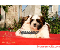 pure tri colour shihtzu puppies for sale in bangalore