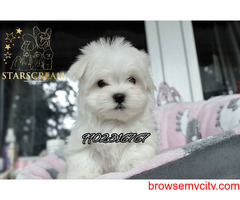VERY OUTSTANDING QUALITY SHIHTZU PUPPIES FOR SALE IN BANGALORE