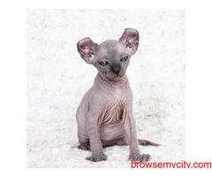 Sphynx kittens for sale $500