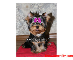 top quality breed yorkshire terrier puppies for sale in bangalore