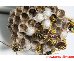 Wasp Nest Removal Treatment in Ottawa