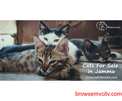 Cats For Sale in Jammu | Kitten for Sale in Jammu