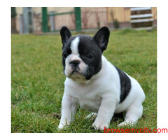 Healthy and cute French Bulldog Puppies available for lovely home
