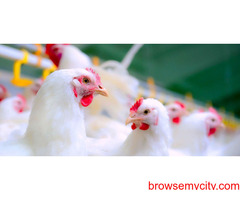 Poultry Feed Supplement manufacturers in India| PVSLabs