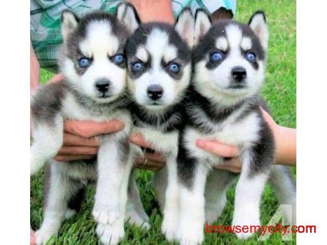 Puppy Siberian Husky Price