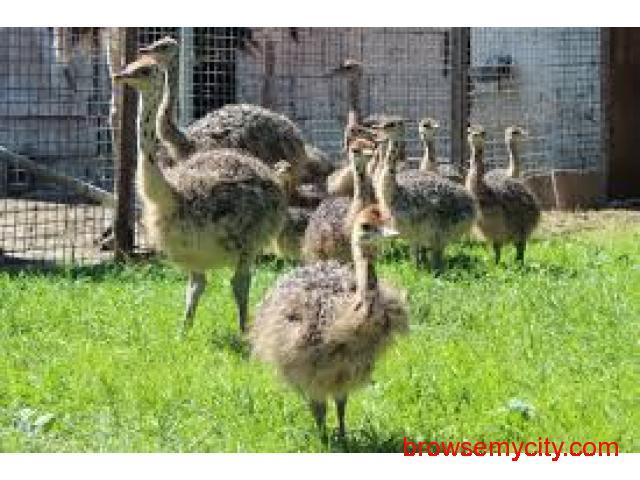 4426704872d ostrich chicks, fertile eggs - 1/2 ...